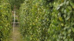 Plantation Of Bushes Of Black Pepper Stock Footage