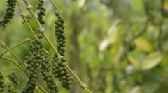 Fruits Of Black Pepper On A Branch - stock footage