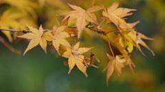 Oregon Japanese maple leaves and seeds Stock Footage