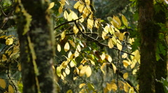 Oregon yellow leaves quiver on tree Stock Footage