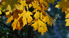 Oregon yellow maple leaves with brown spots Stock Footage