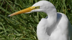 Texas Great Egret with yellow beak and eye - stock footage