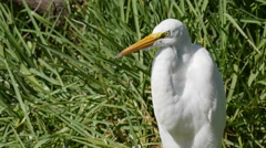 Texas Great Egret with yellow beak Stock Footage