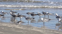 Texas sea gulls and little running birds Stock Footage