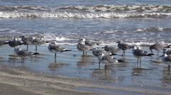 Texas sea gulls running along shore Stock Footage