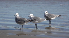 Texas three sea gulls on edge of water Stock Footage