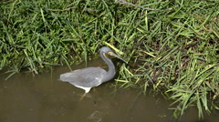 Texas Tricolored Heron leaves water Stock Footage