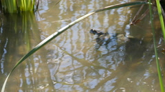 Texas turtle under water Stock Footage