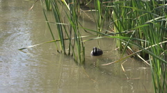 Texas two coots in reeds Stock Footage