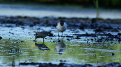Common Redshank (Persicaria maculosa) Stock Footage