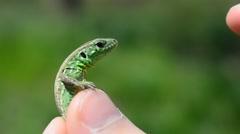 Lizard in hands. Stock Footage