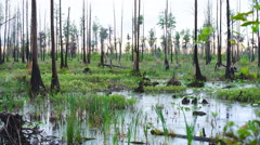 Cypress Swamp at Sunset Stock Footage