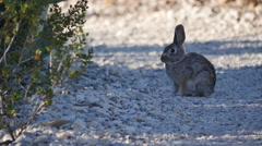 Texas Big Bend bunny rabbit on path Stock Footage