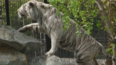 Large white tiger in zoo - stock footage