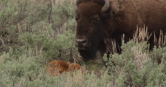 Mother bison pants over her baby lying in the sage brush Stock Footage