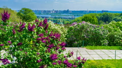 The blooming lilacs in Kiev Stock Footage