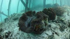Giant Clam Under Pier in Raja Ampat Stock Footage