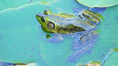 Bullfrog on Lilypad Stock Footage