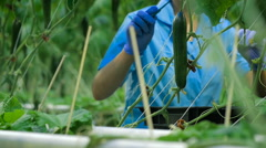 Worker Hands Picking Up A Cucumber at Greenhouse - stock footage