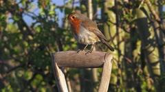Red Robin bird on garden spade Stock Footage