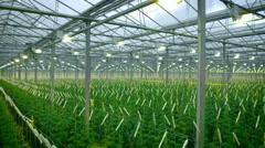 Green Crop Growing In Modern Greenhouse Stock Footage