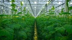 Cucumbers Growing In Very Large Plant Nursery Stock Footage