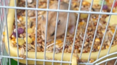 Hamster at feeding and activity - stock footage