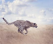 Cheetah (Acinonyx jubatus) Running Kuvituskuvat