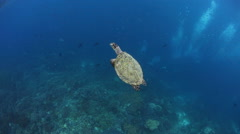 Hawksbill Sea Turtle Surfacing to Breathe Stock Footage