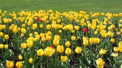 Beautiful yellow tulips with green grass background Stock Footage