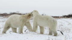 Polar bears walking and playing in the snow Stock Footage