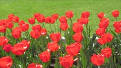 beautiful red tulips with green grass background - stock footage