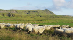 Sheep herd on grass in beautiful Iceland nature landscape Stock Footage