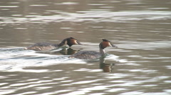 Two beautiful crested grebes swimming past Stock Footage