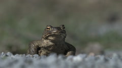 A tough toad staring into the camera - stock footage