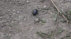 Texas beetle crawling on ground Stock Footage