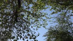 Texas Big Bend Cottonwood leaves zoom in Stock Footage