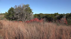 Texas Hill Country dry grass and red sumac leaves zoom in Stock Footage