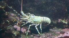 Tropical Rock Lobster - Panulirus ornatus. Stock Footage