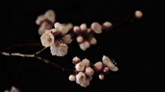 Flowers Apricot Slowly Revealed on a Dark Background, Close-Up, Taymlaps Stock Footage