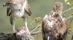 View on beautiful wild Bonelli's eagle couple Stock Footage