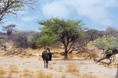 Wild Wildebeest Gnu in african bush Kuvituskuvat