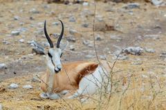 resting Springbok Antidorcas marsupialis - stock photo