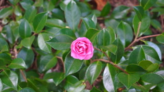Camellia flower against green foliage background Stock Footage