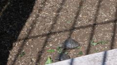 Tortoises in Fausto Llerena Breeding Center, Santa Cruz Island, Galapagos, Stock Footage