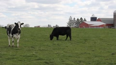Black Angus and Holstein Herd - stock footage
