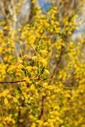Willow branch at spring season at Russia Stock Photos