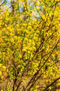 willow branch at spring season at Russia - stock photo