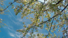 Blossoming Apple Trees In Orchard Garden Stock Footage