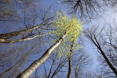 Fresh green leaves of birch in spring between dark trees against blue sky Stock Photos